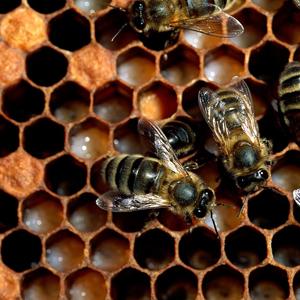 abelhas-colmeia